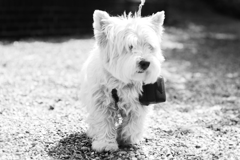 Little dog carrying wedding rings James Robertshaw Sussex Wedding